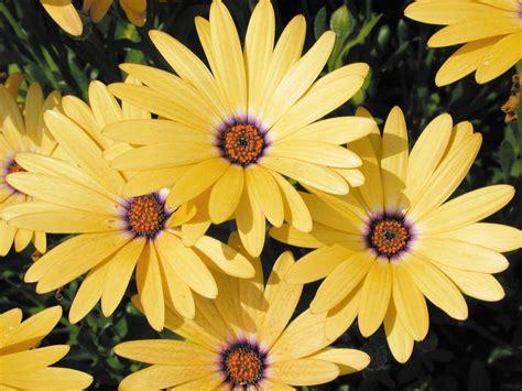 lemon symphony osteospermum hybrid proven winners