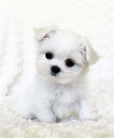 white puppy teacup maltese puppy white iheartteacups