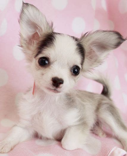 real puppys for sale haired teacup chihuahua for sale haired chihuahua puppies at teacups