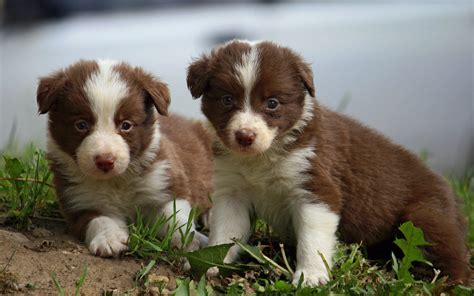 best food for border collie puppy beautiful border collie puppies wallpapers and images wallpapers pictures photos