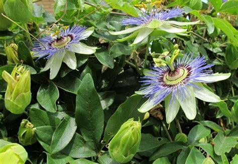 passiflora in vaso fiore della passione passiflora caerulea passiflora