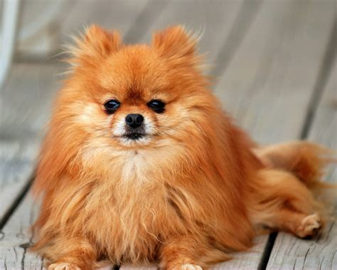 smallest puppy pomeranian all small dogs wallpaper 18774613 fanpop