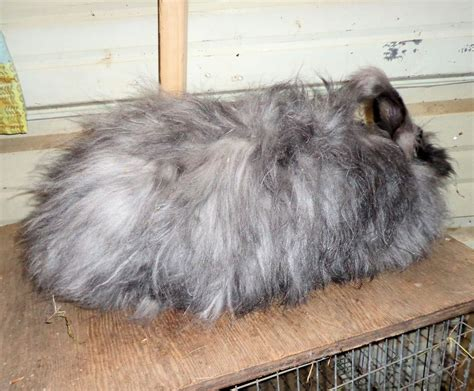 Shedding Bunny by Shedding Angora Rabbits Sercadia
