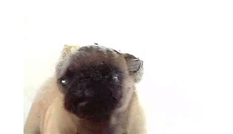 sanger pug screen sanger pug breeds picture