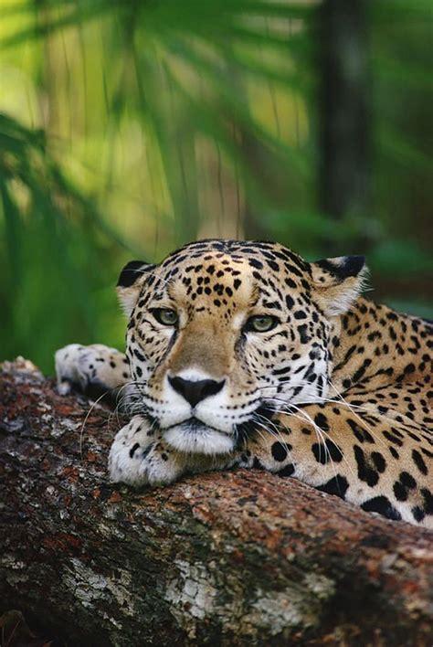 imagenes jaguar felino mejores 338 im 225 genes de grandes felinos en pinterest