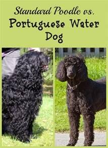 standard poodle vs portuguese water dogvills