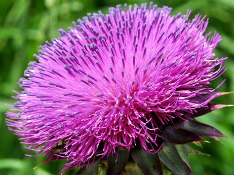 Delaware State Flower by Musk Thistle