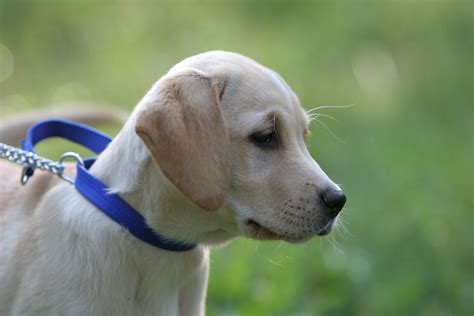 Labrador Afrika 2 free labrador puppy 2 stock photo freeimages