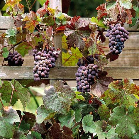 Planting Grapes In Backyard by How To Grow Grapes In Your Backyard Gardens Vineyard