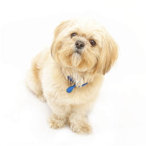 how to housebreak a shih tzu how to a shih tzu with a stubborn attitude shihtzu web