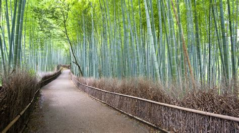 Arashiyama Bamboo Grove in Kyoto, Japan   Lonely Planet