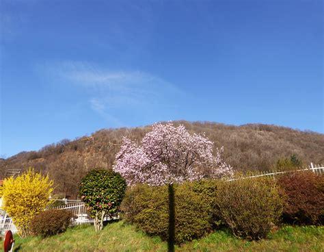 alberi fioriti alberi fioriti sei aprile 2018 a brolo di nonio