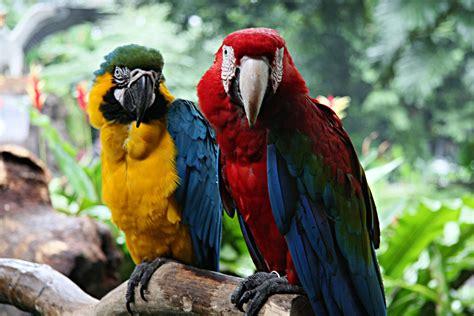 file macaws at jurong bird park singapore 8 jpg wikipedia