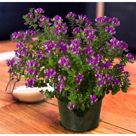 sweet pea shrub petite butterfly polygala fruticosa