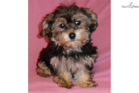 yorkie poo puppies for sale how to yorkie poo puppies hairstylegalleries