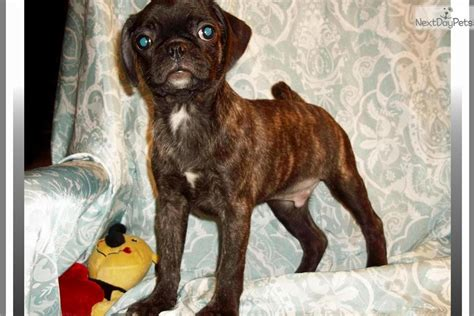 bugg puppy brindle bugg puppies breeds picture