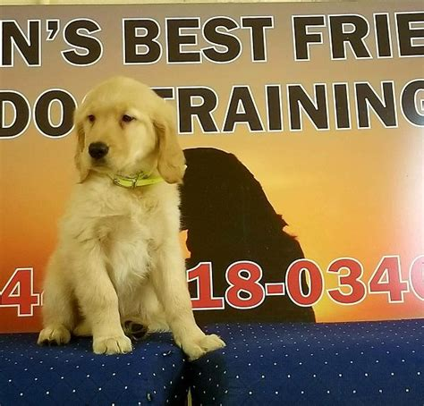 trained golden retriever sale trained golden retriever for sale s best friend