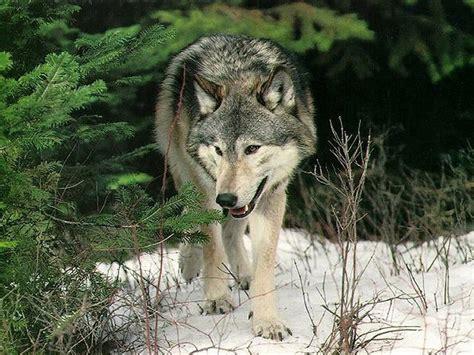 escritorio al reves los mejores fondos de pantalla de lobos im 225 genes taringa