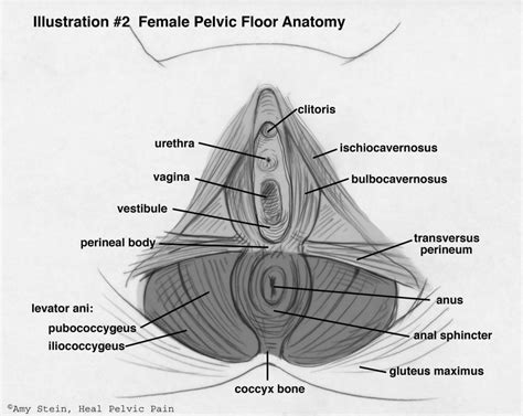 diagram of perineum pelvic floor anatomy human anatomy diagram