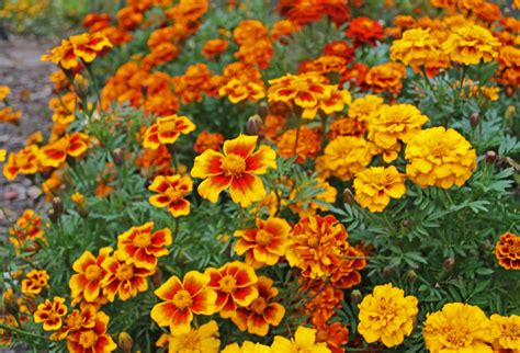 Marigolds In Urban Potager Attracts Beneficial Insects Marigold Flower Garden