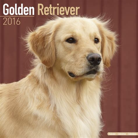 golden retriever poster golden retriever wall calendar 2016