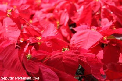 tanaman hias daun merah merekah  mengagumkan