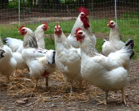 Good Backyard Chickens Delaware Chicken Dual Purpose Heritage Breed Source
