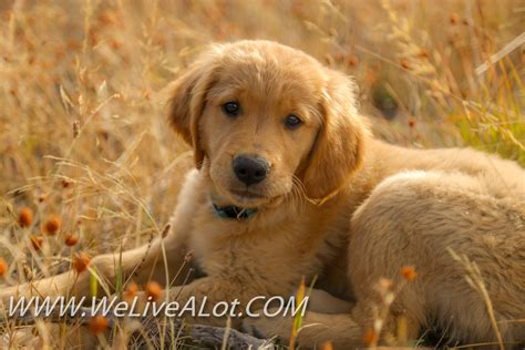 our golden retrievers beautiful idaho forest golden retriever puppy we live a lot