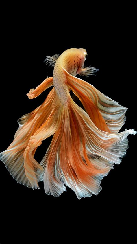 apple iphone  wallpaper  elegant male gold betta