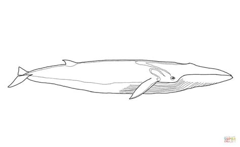 minke whale coloring page fin whale coloring page free printable coloring pages