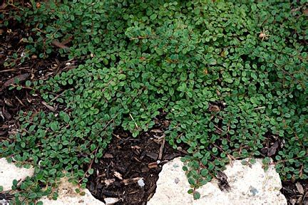 low growing shrubs with flowers the plant no more weeding or mulching ground
