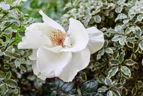 fiori molto profumati giardino romantico piante e fiori profumati paperblog