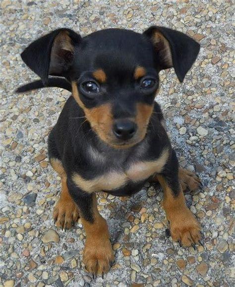 min pin 17 best ideas about miniature pinscher on mini pinscher miniature dogs