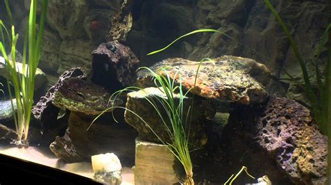 Cichlid Aquascape by Felmly 75 Gallon Lake Malawi Cichlid Aquascape