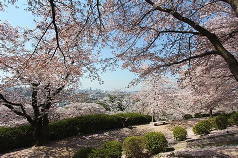 700 cherry tree road cherry blossom report 2011 okayama report