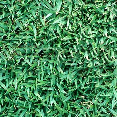 qld blue qld blue turfman brisbane supply quality turf