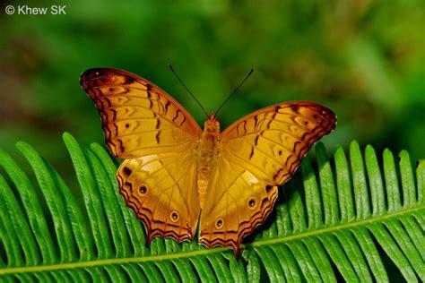 butterflies  singapore origin   common names