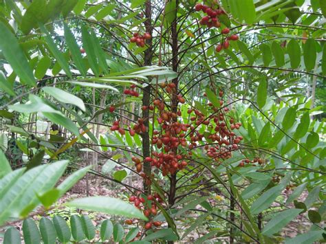 Pasak Bumi Akar Kilo An Tongkat Ali tongkat ali pasak bumi jual kopi pracuran radix