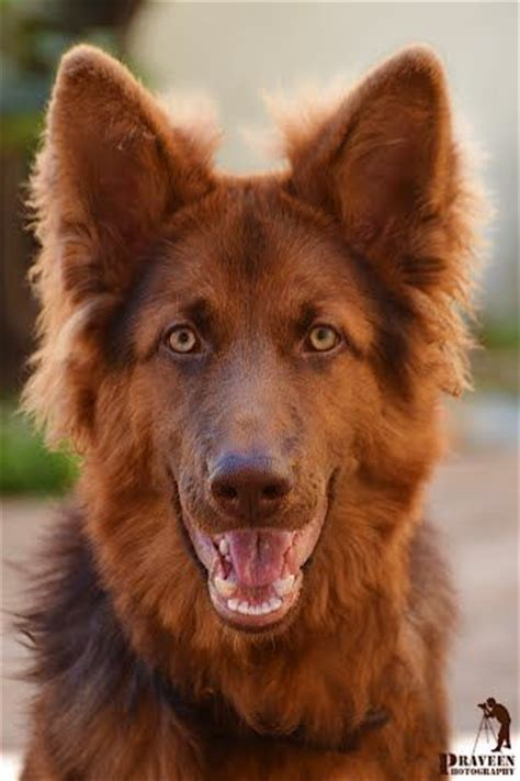 liver colored german shepherd liver colored german shepherd wow and