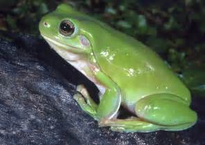 What Do Backyard Frogs Eat Care Of Amphibians Australian Museum