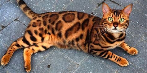 Thor: The Internationally Loved Bengal Cat