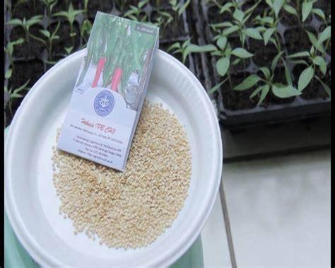Berapa Bibit Cabe Rawit cara sukses menanam dan budidaya cabe dalam polybag