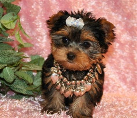 teacup yorkie puppies for sale nz 104 best images about wee dogs on poodles puppys and maltese puppies