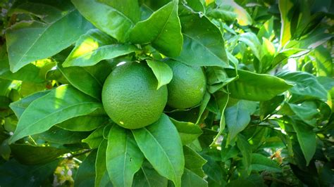 citrus fruit trees indoor lime tree indoor citrus and fruit trees