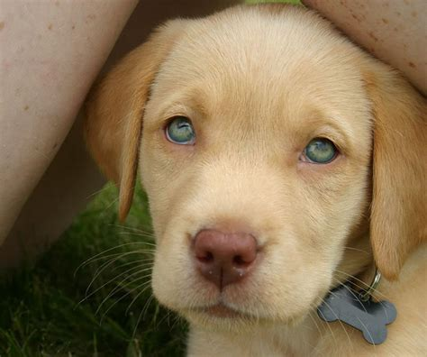 green labrador puppy chocolate lab puppies with green breeds picture