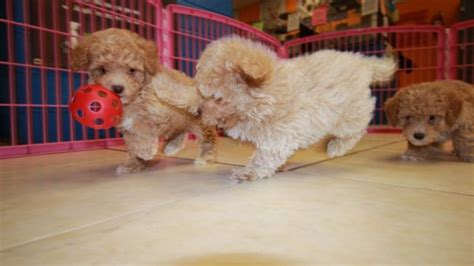 poodle puppies for sale in ga pretty apricot poodle puppies for sale near atlanta ga at puppies