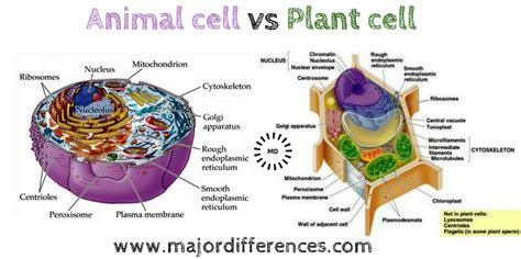 difference  plant cell  animal cell plant cell
