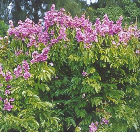 Biji Bunga Bungur Putih jual pohon bungur harga murah bogor oleh azzahra flora