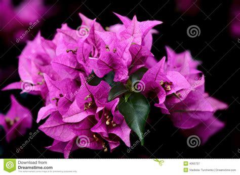 fiori hawaiani fiori hawaiani immagine stock immagine di fresco tropici