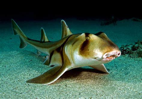jackson shark heterodontiformes jackson shark